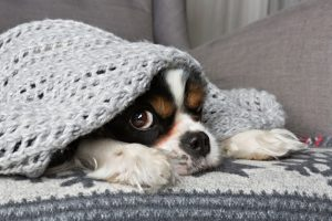 cute-dog-under-warm-grey-blanket